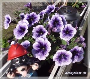 Petunie lila